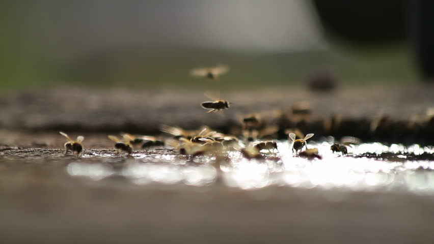 Bees collecting water - outdoors shot of honeybees with back-light reflection