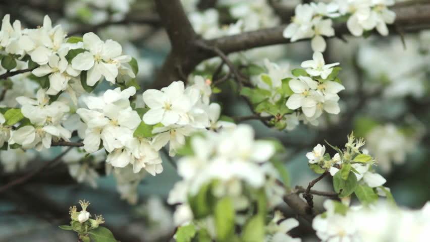 Apple Trees Blooming In Spring Stock Footage Video 100 Royalty