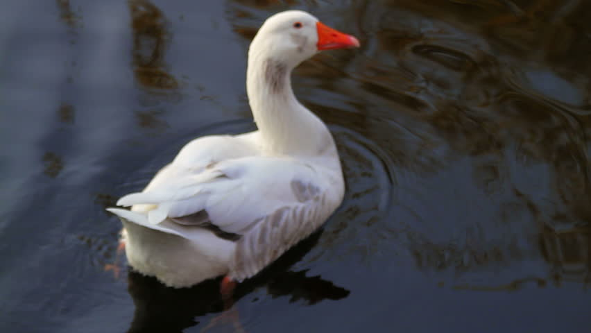 White goose floating on the water surface annoyed by a falling tree leaf