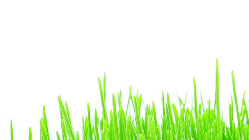 how to grow barley grass outdoors