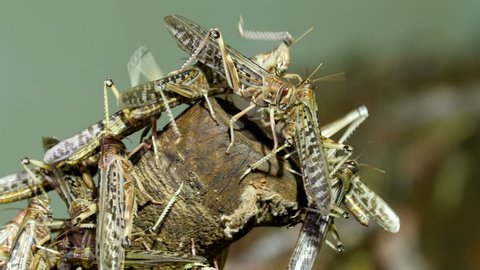 Lots of grasshoppers flocked in a wooden log. The grasshoppers are getting something from the log
