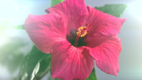 Time-lapse. Blooming red hibiscus flower on a blue background. Blurred. High speed camera shot. Full HD 1080p.