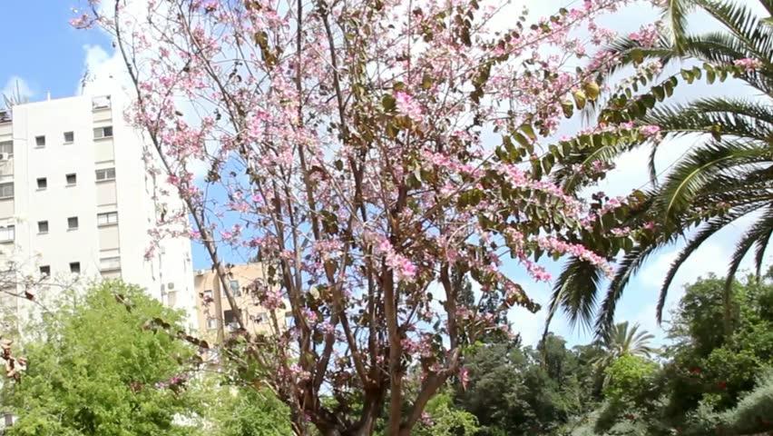 Blossoming orchid or bauhinia purpurea tree in Tel Aviv. Israel | Shutterstock HD Video #9607631