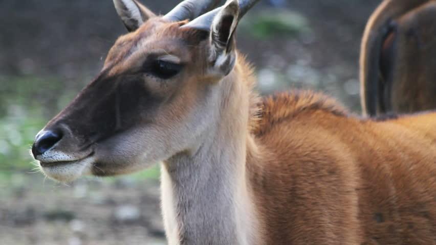 Antelope  Zambia Tourism