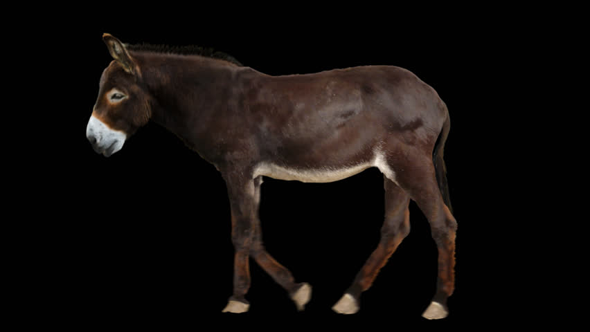 Isolated donkey cyclical walking. Can be used as a silhouette.
