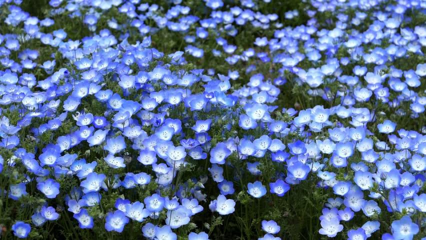 Nemophila flower field (baby blue eyes), blue flowers in the garden.