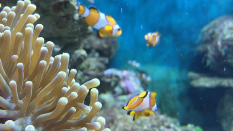 clown fish swimmig into Sea Anemone