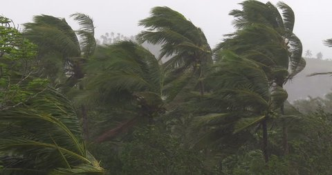 Palm Trees Blow In Wind As Hurricane Makes Landfall. Palm trees thrash in strong winds as a hurricane makes landfall. Originally shot in 4K on Sony PXW Z100 4096x2160 30p - Hagupit II