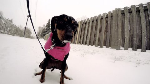 Young pinscher puppy pet dog making a poop on snow during winter.