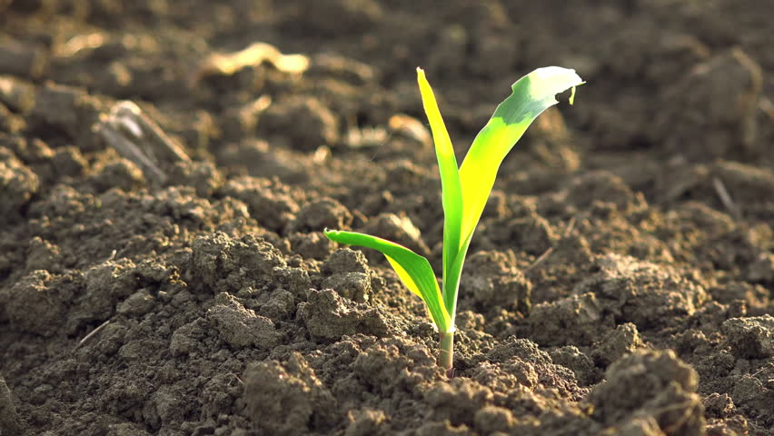 Growing Young Green Maize Corn Seedling Sprouts in Cultivated Agricultural Farm Field, Selective Focus with Shallow Depth of Field | Shutterstock HD Video #9890381