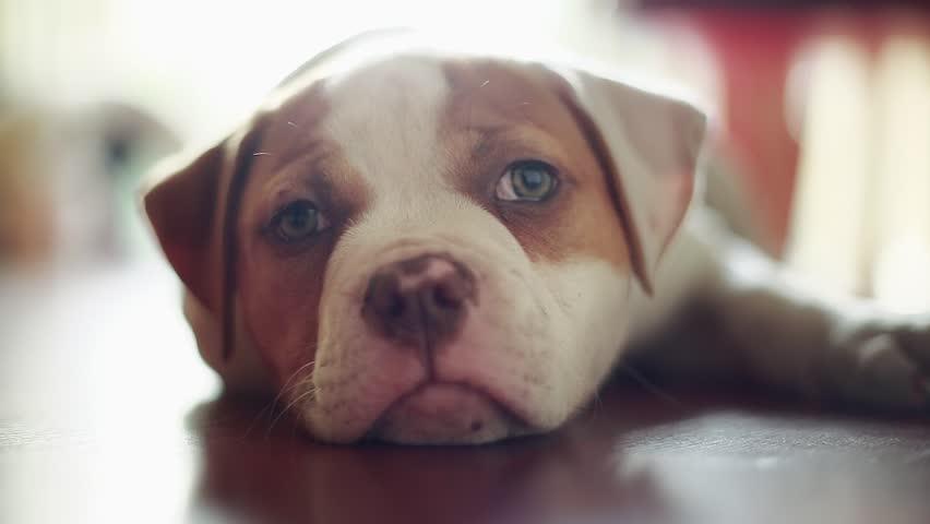 Wonderful Bulldog Canine Adorable Dog - 4  Image_229743  .jpg