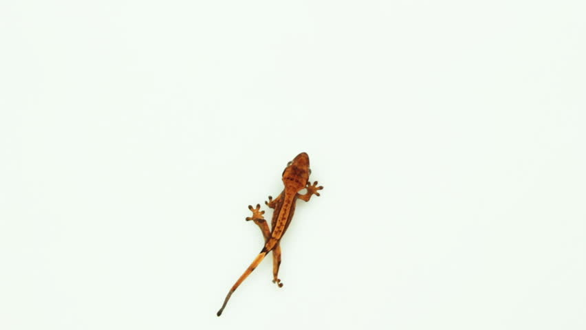 Set of single brown gecko standing, walking and looking isolated on white background with top view | Shutterstock HD Video #9919391