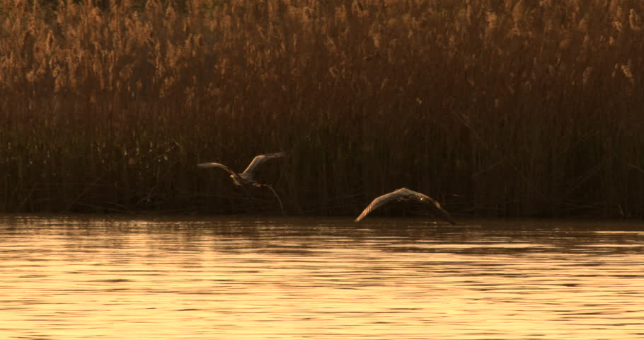 Two Great Blue Herons flying side by side in wetlands together at sunset in 240 fps slow motion.