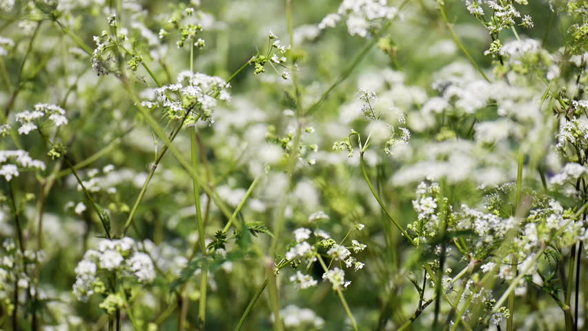 Full frame Elderflower spring nature background. Full frame video footage of wild elderflower growing in the warm of the spring sunshine in an English country meadow.