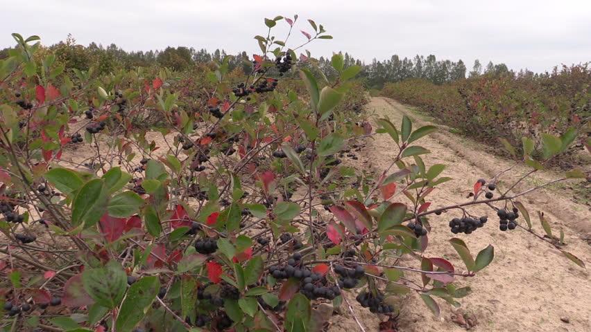 Chokeberry (Aronia) black berry bushes grow in farm plantation. Static shot on Canon XA25. Full HD 1080p. Progressive scan 25fps. Tripod.
