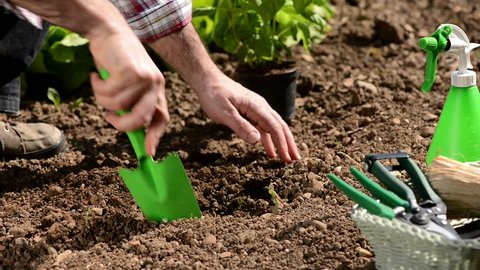 Farmer planting and watering a fresh basil plant in the garden