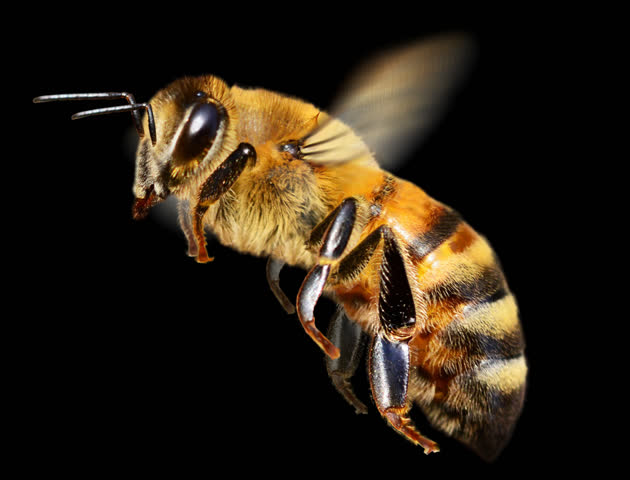 Honey bee in flight. It contains an alpha channel. Cyclic animation.